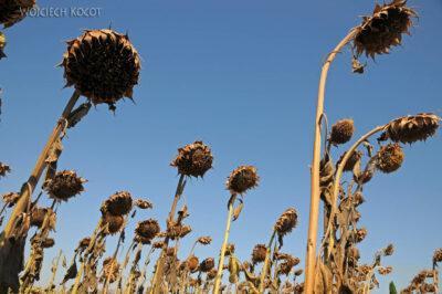 Por11007-Suszone Słoneczniki