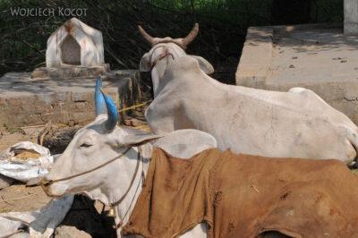 IN05086-Malowane rogi krowy