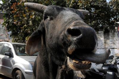 IN04191-Agra-Krowa