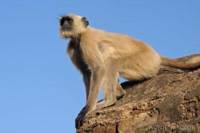 IN06025-Orcha-Małpy wŚwiątyni