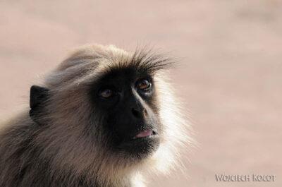 IN06032-Orcha-Małpy wŚwiątyni