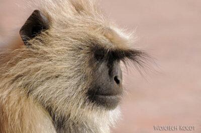 IN06033-Orcha-Małpy wŚwiątyni