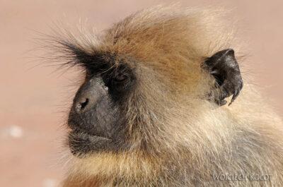 IN06034-Orcha-Małpy wŚwiątyni