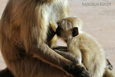 IN06035-Orcha-Małpy wŚwiątyni