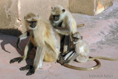 IN06036-Orcha-Małpy wŚwiątyni