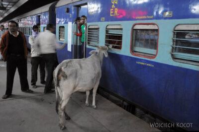 IN07237-Krowa przy wagonie