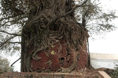 IN14011-Kathmandu-fikus niszczy kapliczkę