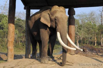IN15028-Słonie wparku Chitwan