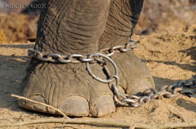 IN15030-Słonie wparku Chitwan