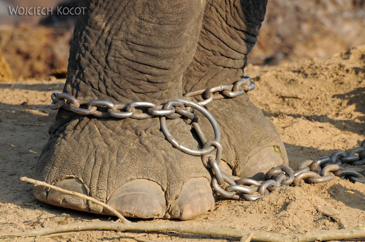 IN15030-Słonie w parku Chitwan