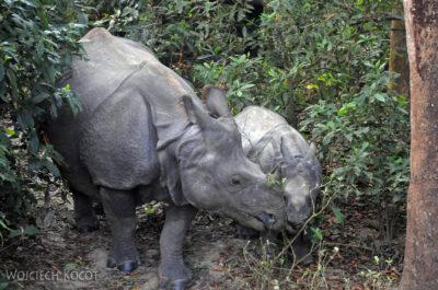 IN16031-Chitwan-nosorożce