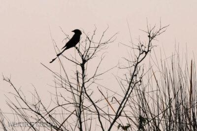 IN16101-Chitwan-drongo