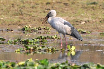 IN16106-Chitwan-wodne ptactwo
