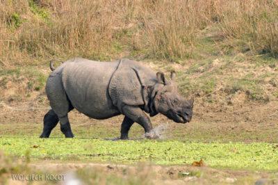 IN16115-Chitwan-nosorożec