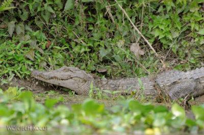 IN16128-Chitwan-krokodyl