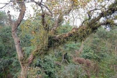IN16135-Chitwan-rośliny pasożytujące