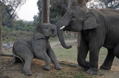 IN16160-Chitwan-zabawy młodych słoni (bracia)