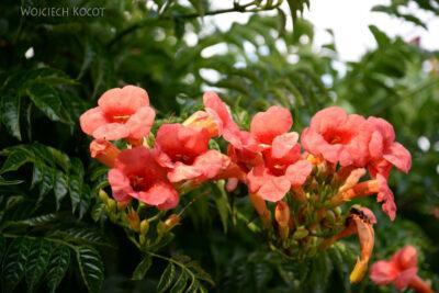KrC-066-Krushevo-kwiatuchy