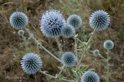 KrE-063-Kwiaty ostu