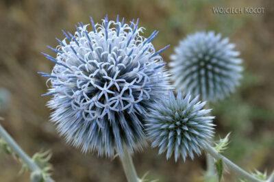 KrE-064-Kwiaty ostu