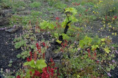 Lan7015-Winny krzew