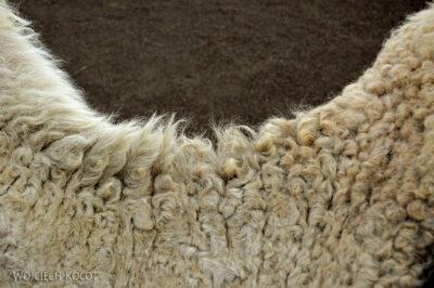 Lan3101-Wielbłądy wParku Timanfaya