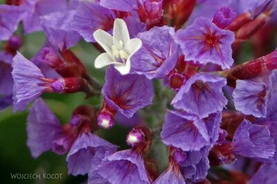 Lan4154-Kwiaty-w-Jameos-del-Agua