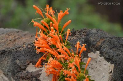 Lan4156-Kwiaty wJameos del Agua