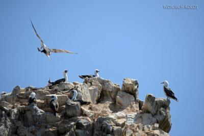 PBc046-Ptactwo naLas Ballestas