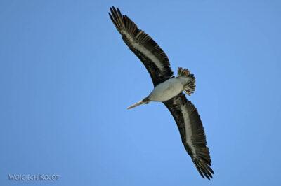 PBc050-Ptactwo naLas Ballestas