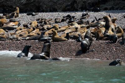 PBc076-Lwy morskie naLas Ballestas