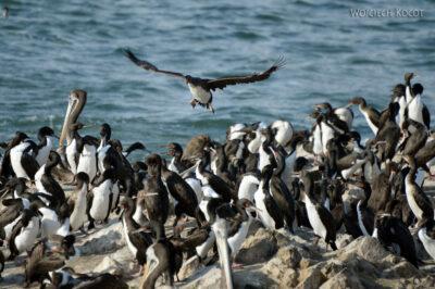 PBc139-Ptactwo napółwyspie Paracas