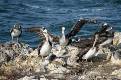 PBc140-Ptactwo napółwyspie Paracas