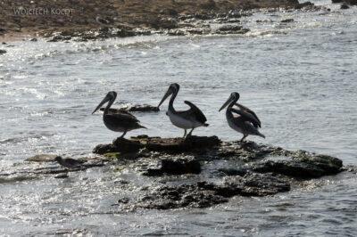 PBc142-Pelikany napółwyspie Paracas