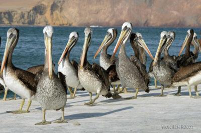 PBc145-Pelikany napółwyspie Paracas
