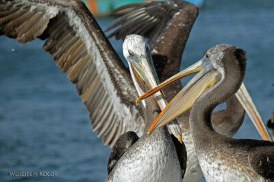 PBc149-Pelikany napółwyspie Paracas