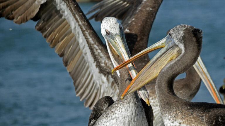 PBc149-Pelikany na półwyspie Paracas