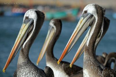 PBc150-Pelikany napółwyspie Paracas