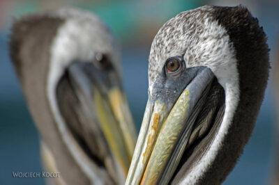 PBc154-Pelikany napółwyspie Paracas