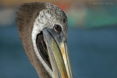 PBc156-Pelikany napółwyspie Paracas