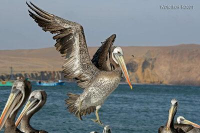 PBc159-Pelikany napółwyspie Paracas