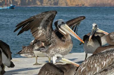 PBc160-Pelikany napółwyspie Paracas