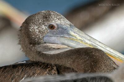 PBc161-Pelikany napółwyspie Paracas
