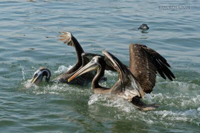 PBc163-Pelikany napółwyspie Paracas