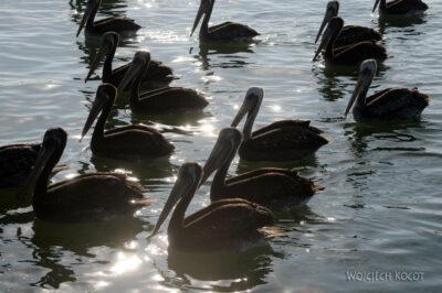 PBc167-Pelikany napółwyspie Paracas