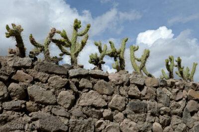 PBf121-Zasieki kaktusowe
