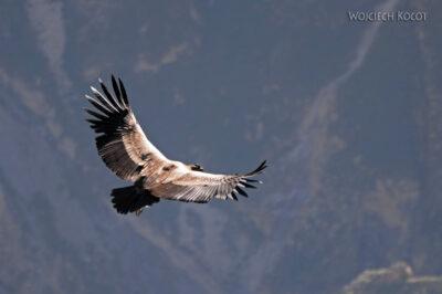 PBg038-Kenion Colca - kondor