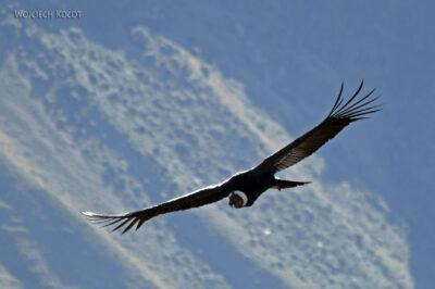 PBg040-Kenion Colca - kondor