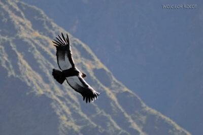 PBg042-Kenion Colca - kondor