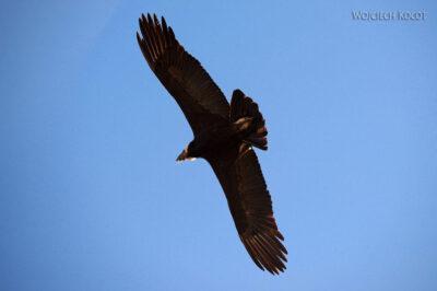 PBg044-Kenion Colca - kondor